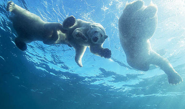 Mother polar bear filmed teaching cubs to swim in incredible rare footage