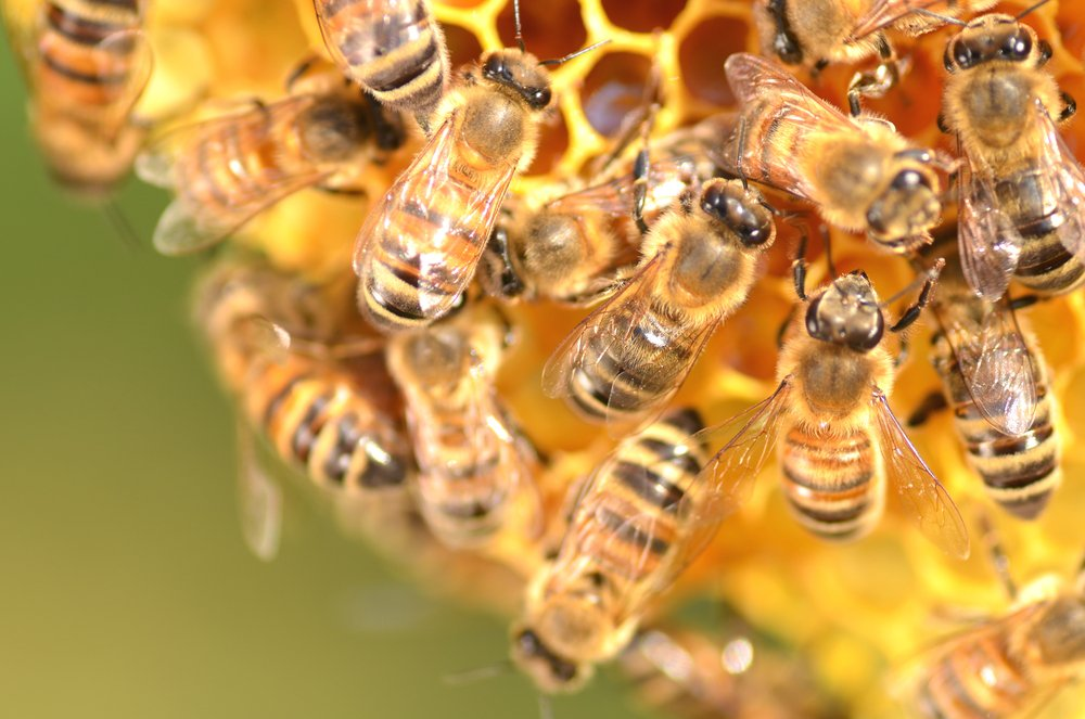 In a country without pesticides, Cuban bees are in great shape!