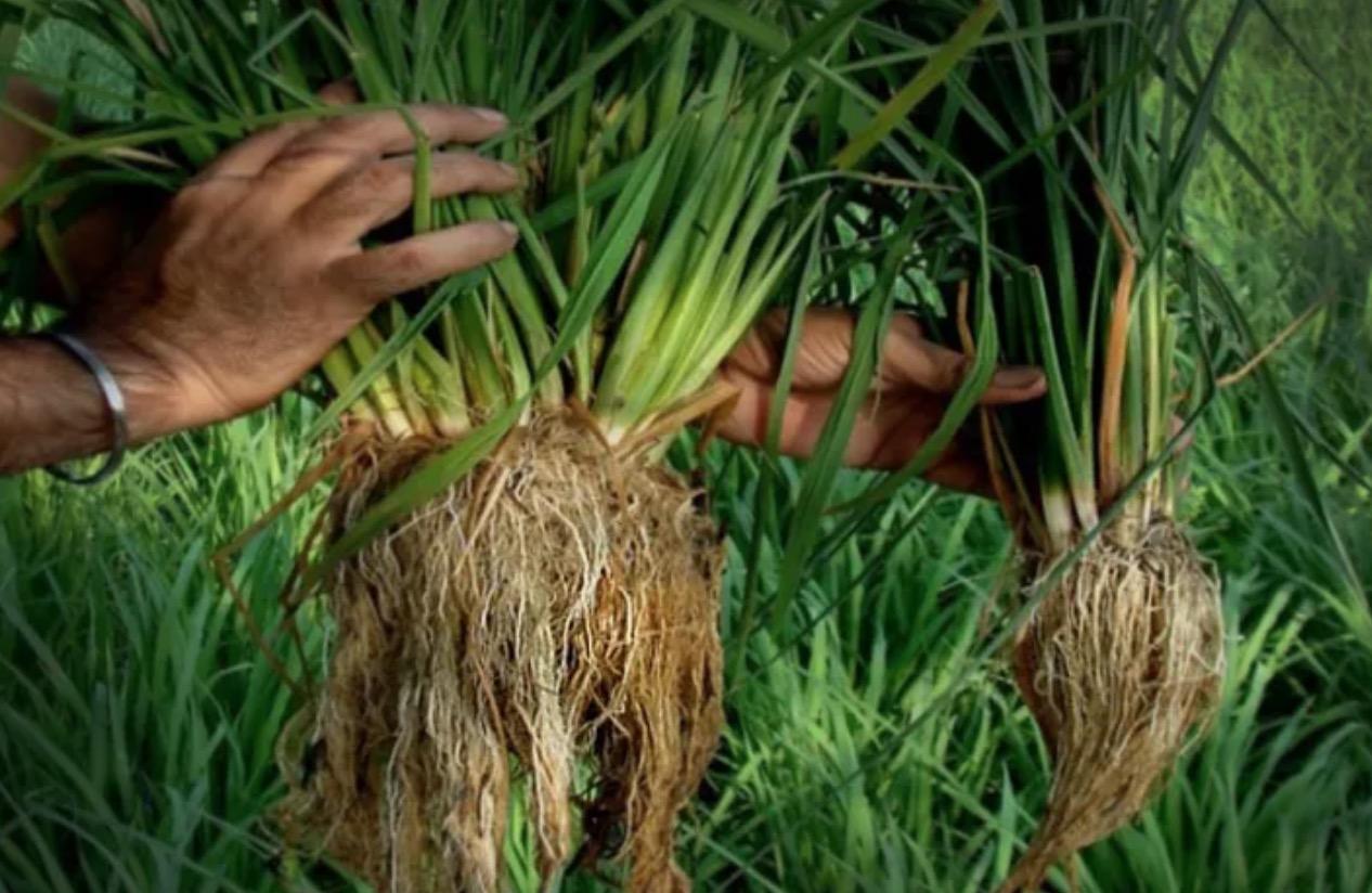 SRI-Methode: Indischer Bauer knackt mit pestizidfreier Anbaumethode Ernte-Weltrekord