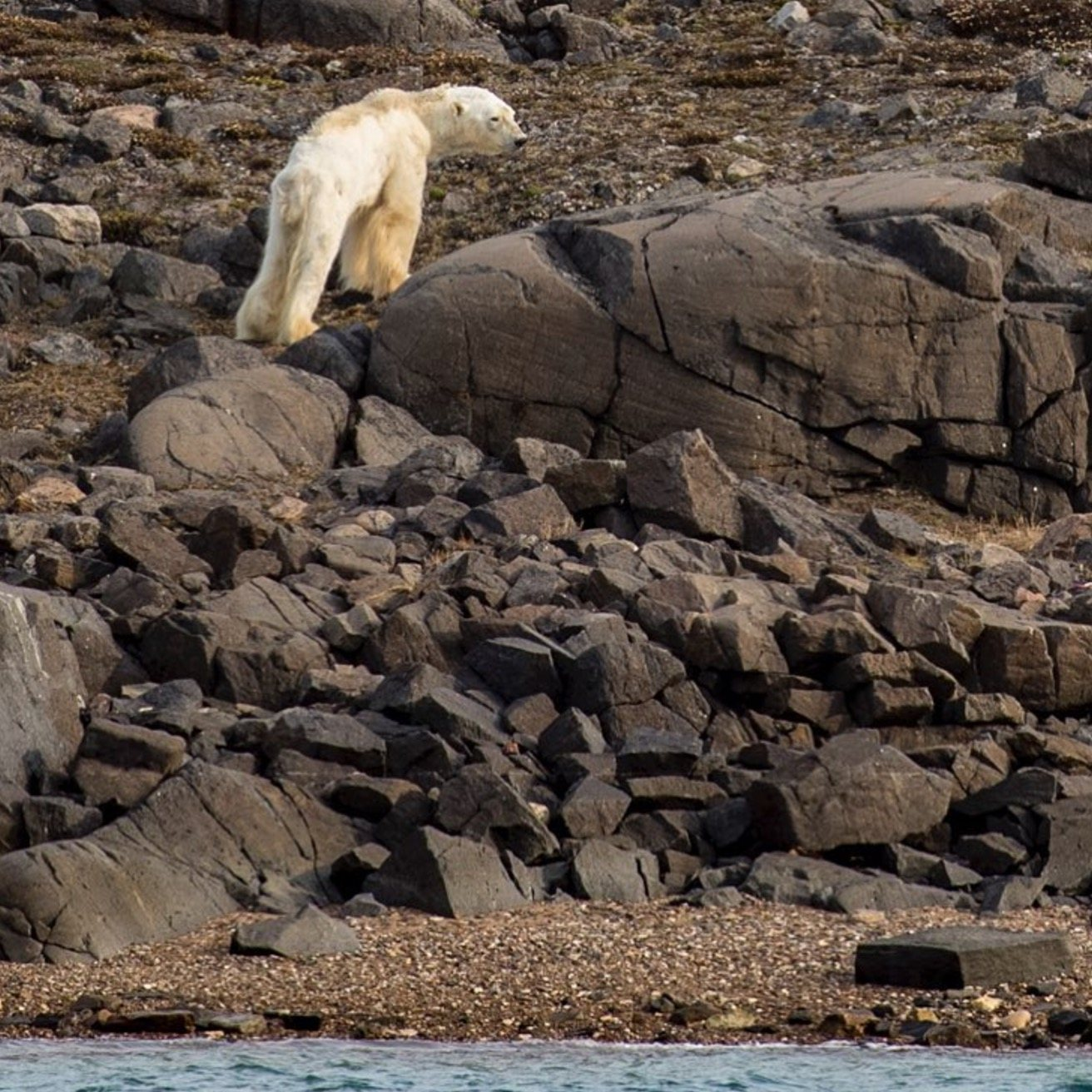 """""""He was once a huge male polar bear and now he is a bag of bones"""" Paul Nicklen"""