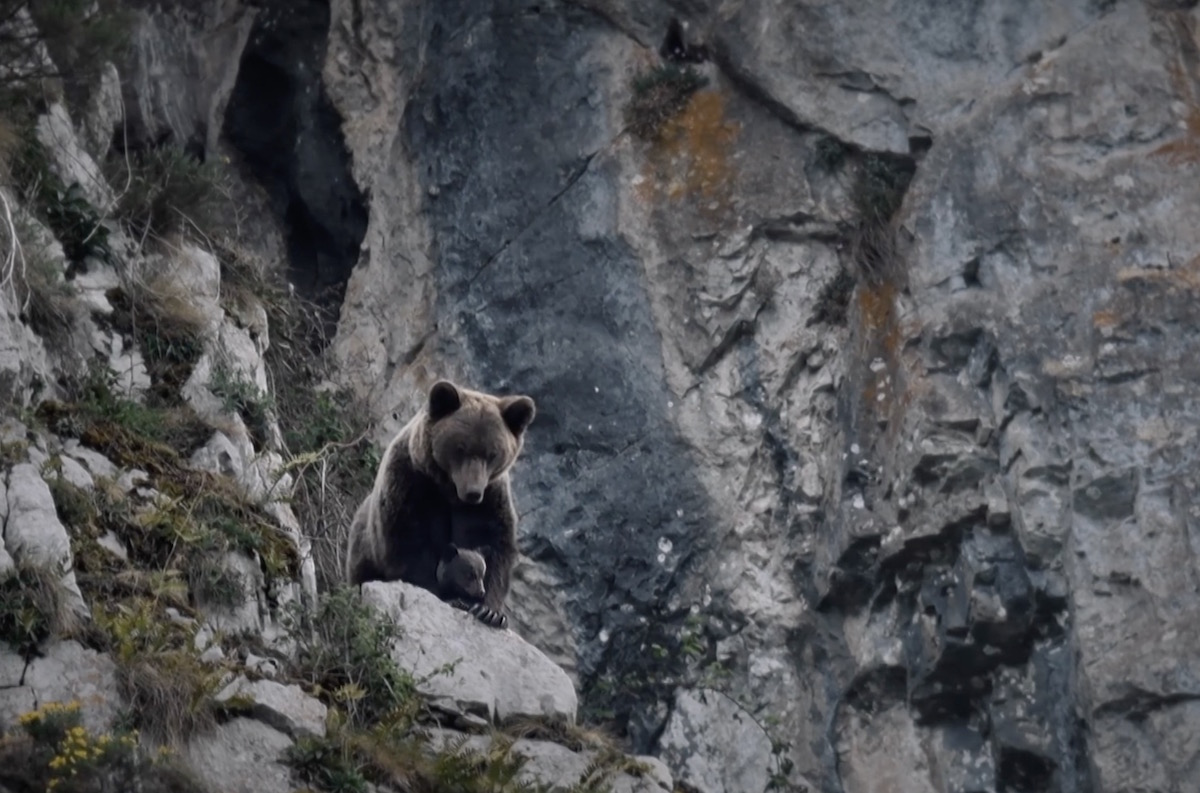 Ours, simplement sauvage. Le film de Vincent Munier et Laurent Joffrion