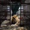 33 lions who spent their lives in the circus just went home to Africa