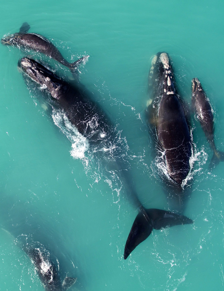 Whale population is increasing in Australia!